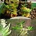 Flask babies: Dendrobium cyanocentrum