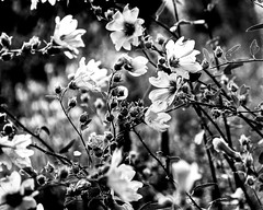 Scandinavian Garden (nosha) Tags: flowers bw flower texture nature beautiful beauty gardens garden gteborg nikon sweden gothenburg august creativecommons lust f56 pm scandinavia 2008 scania goteborg lightroom d300 200mm 18200mm nosha natureycrap nikond300
