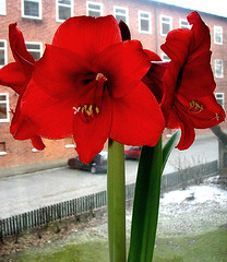 amaryllis still blooming (Per Ola Wiberg ~ Powi) Tags: flowers stockholm loveit harmony amaryllis click february blommor 2009 februari peopleschoice blueribbonwinner otw fredhll hiddentreasure cherryontop bloomingflowers inspiredbylove beautifulcapture anawesomeshot impressedbeauty flickrhearts diamondclassphotographer mycameraneverlies flickrbronzeaward citrit heartawards prettynaturephotos theunforgettablepictures flowerwatcher goldsealofquality betterthangood coloredpetals goldstaraward worldofflowers arealgem highqualityimage natureselegantshots flowerbudsandblossoms colourvisions allkindsofbeauty rubyphotographer mimamorflowers beautifulshot damniwishidtakenthat screamofthephotographer abovealltherest auniverseofflowers awesomeblossoms launguageofflowers ~fff~ flickrflorescloseupmacros oneflowerperday photographerparadise naturescreations theflowerbasket flowers flowercauleleaf dragonflyawardsgroup lovelylovelyphoto ablackrose mostbeautifulpictures flowersonflickr addictedtoflower bestpeopleschoice