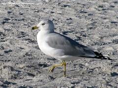 IMG_0101-ring-bille-gull-marching