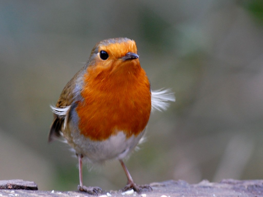 Windswept Robin..