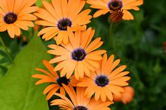 African Daisy (JKleeman) Tags: flower africandaisy osteospermum