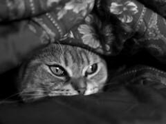 Ultimate comfort (Andreane Fraser) Tags: blackandwhite cat 50mm saultstemarie
