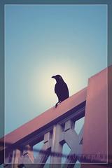 Corvus Splendens - What a Menace!!!! (The Umbrella Man!!) Tags: india canon crow chennai murders bipin corvussplendens canoneos400d goodlaugh bipinbabu