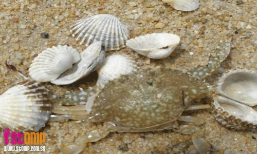 Selimang beach: New place to go for flower crabs