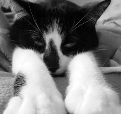 Angel (Canadian Angeleyes) Tags: blackandwhite white black angel cat feline americanshorthair tuxedo tuxedocat paws