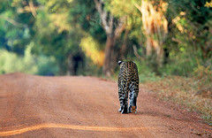 Walking for a extinction  ..? (Sara-D) Tags: nature canon wildlife leopard species srilanka endangered extinction yala endangeredspecies panthera pantherapardus pardus canon100400l asianwildlife eos400d kotiya alemdagqualityonlyclub flickrbigcats wildsrilanka