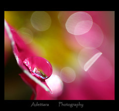 ~In one drop of water are found all the secret of all oceans~ Kahlil Gibran (Adettara Photography) Tags: pink macro waterdrop bokeh drop explore frontpage primrose explore33 aplusphoto infinestyle adettara hppt ahqmacro ~inonedropofwaterarefoundallthesecretofalloceans~kahlilgibran