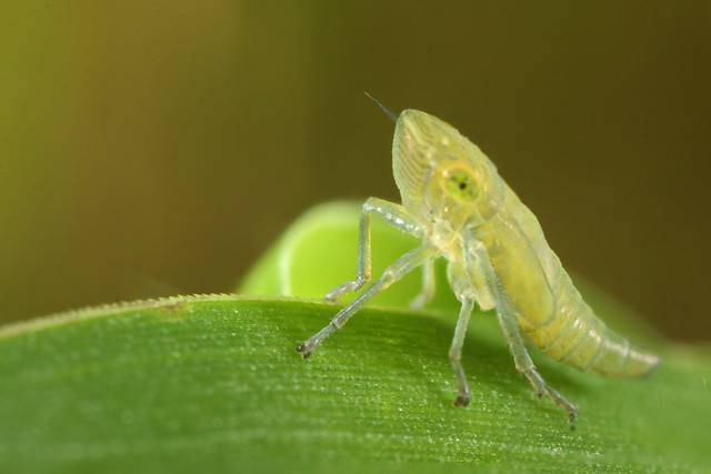 Common Leafhopper (Helochara communis) nymph