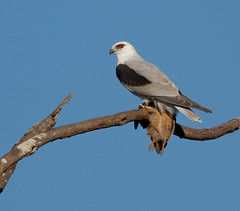BLACK-SHOULDERED KITE (petefeats) Tags: nature birds feeding australia queensland blackshoulderedkite withprey brownquail lakesamsonvale