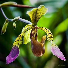 Paphiopedilum lowii {part I} (1davidstella) Tags: pink brown green yellow nikon orchids kotakinabalu paphiopedilum hpm d300 wildorchids slipperorchids vosplusbellesphotos travelsofhomerodyssey coppercloudsilvernsun 4tografie