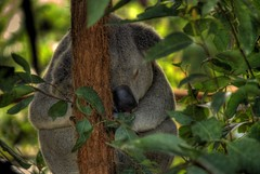 snooze time (dbtelford) Tags: cute animal geotagged nikon wildlife australia koala queensland eucalyptus marsupial hdr australiazoo d80 5xp