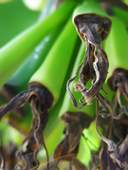 Tassel (Gilbert Rondilla) Tags: camera plants house plant color macro green nature up vertical closeup photoshop garden point photography photo nikon shoot close bokeh philippines banana explore retreat gilbert filipino digicam tagaytay musa notmycamera own pinoy s10 unripe tassel borrowedcamera imago oss pns novitiate lakatan tagaytaycity rondilla notmyowncamera imagoismthursday imagoism gilbertrondilla gilbertrondillaphotography luisianian sistersoblatesoftheholyspirit sistersoblates gettyimagesphilippinesq1