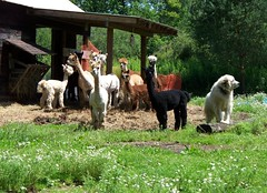 Alpaca and their Great Pyrenees guard dog, Aspen (Guenther Lutz) Tags: summer usa dog alpaca america kodak watching august northamerica newyorkstate aspen herd 2009 alert allegany greatpyrenees wny southerntier cattaraguscounty z1275