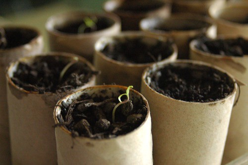 heirloom tomato seedlings