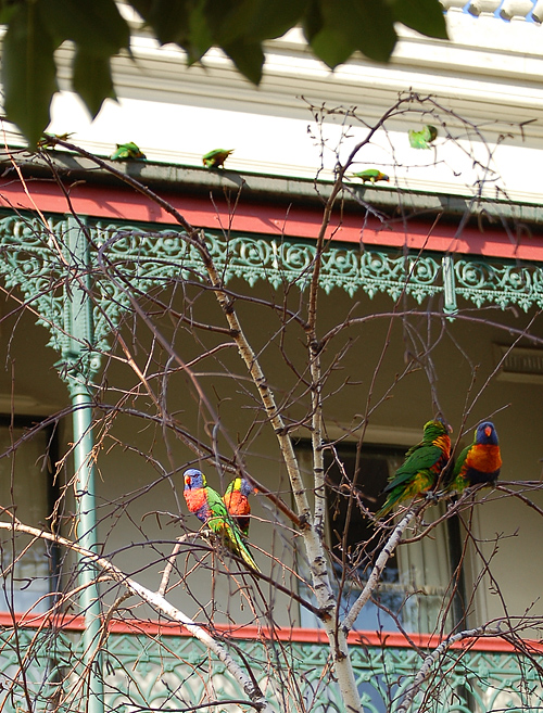_rainbow_lorikeets_&_birch_2_