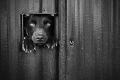 how much is that doggy (sadaiche (Peter Franc)) Tags: bw dog fence wag peek melancholic urbex thelittledoglaughednoiretblancet