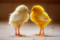 Double Happy (Light and Life -Murali ) Tags: chicken searchthebest explore chicks frontpage explorefp mg93421p1csc