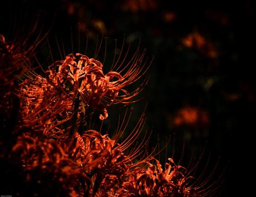 8043 : Lycoris radiata #8 - Zeal continent -