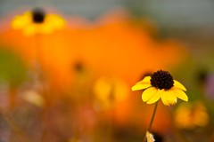 RudbeckiaTriloba (Scott Weber PDX) Tags: autumn orange black flower fall yellow gold blossom susan bloom eyed rudbeckia triloba garden3705plantsflowersfoliage