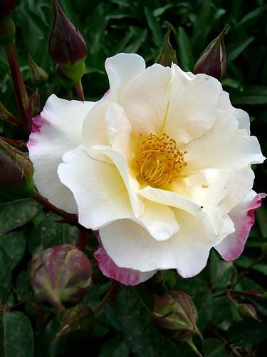 Rosa 'Citron Fraise'