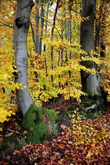 The beech forest (mariannakoutna) Tags: autumn fall nature les forest october beech buk oktber jese prroda