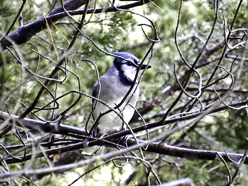 blue jay in the rain