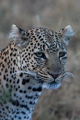 HEAD STUDY OF A FELINE (Gill Storr) Tags: kenya wildlife olive leopard cubs bigcats masaimara leopards bigcatdiary talekriver leopardcubs