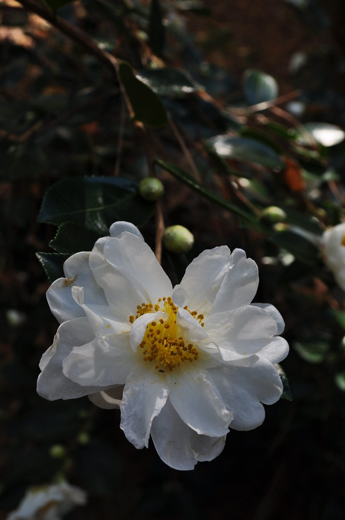 Camellia x 'Winter's Hope' 1