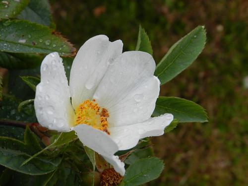 Mystery white flower