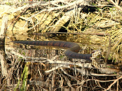 Cottonmouth 20090111