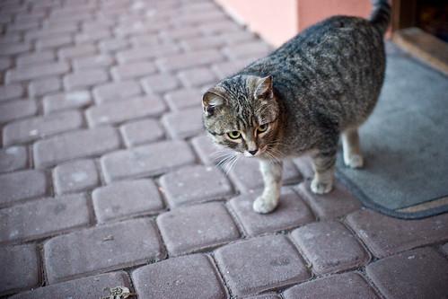 Польская кошка