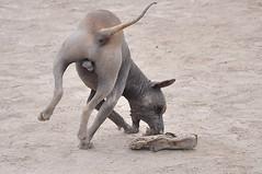 Peruvian Hairless Dog (Peachch) Tags: dog nikon hairless peruvian d90