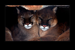 Cougar Love (ICT_photo) Tags: wild cat cougar mountainlion torontozoo ictphoto cougarlove ianthomasguelphontario