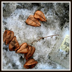 Winter Wastes (Ronaldo F Cabuhat) Tags: pictures winter white snow cold macro ice closeup photography frozen frames expression framed pic dirt photographs bacardi albanyny albanynewyork driedflowers dirtyice canoneosdigitalrebelxti cabuhat winterwastes