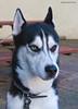 Hetfield - 310109 (Rob Mirage) Tags: dog husky siberian howl bieyed