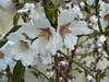 Les premières fleurs de l'Amandier (verytallsam (connecté quand il peut)) Tags: white fleurs homeless almond story blanc printemps springtime almondtree amandier lestagnol rueemilezola petiteshistoiressansparoles février2009 parkingdeladroguerieschlecker