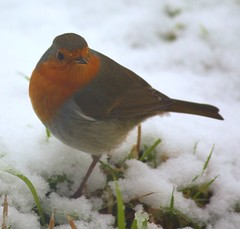 Robin (scrumsrus) Tags: winter red brown white snow cold green bird nature robin grass rural garden grey scotland countryside frost aberdeenshire wildlife feathers feather environment curious 365 success tranquil huntly rspb gartly project365 gardenbird project3661 february2009 t189project365 scrumsrus andystuart