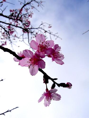 透光的櫻花