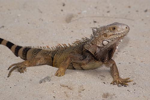 Iguana in the sand