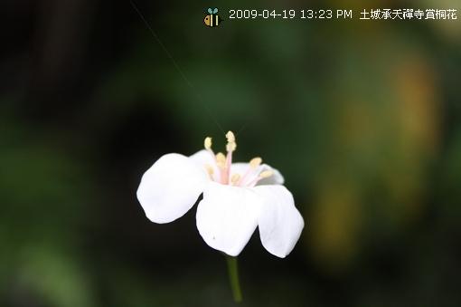 09.04.19 一探土城承天寺桐花花況 (7)
