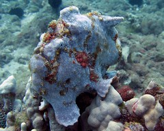 waileafrog-1 (shappell) Tags: ocean sea usa fish water hawaii moss underwater pacific maui frog frogfish reef camoflauge