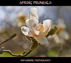 Spring Promises (Don Iannone) Tags: flowers trees ohio macro closeup spring explore frontpage springtime magnoliatree excellence floweringtree kirtland holdenarboretum northeastohio magnoliablossoms april2009 kirtlandohio doniannone nikond80camera naturesbeauty parkscorner