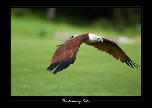 เหยี่ยวแดง Haliastur indus (Brahminy Kite ) 3700179395_363d6ab578