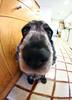 Luna (Guillem Oliver) Tags: fisheye perro cocker perra peleng ojodepez peleng8mmf35 canoneos450d