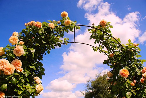 David Austin Roses Visit, June 09 by www.cherrymenlove.com
