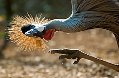 Itch... (Marc_Scott-Parkin) Tags: crane crowned balearica regulorum