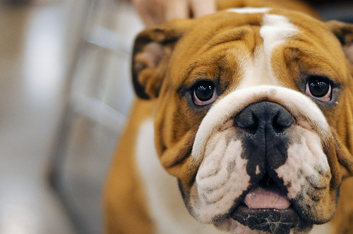 Ike the Bulldog