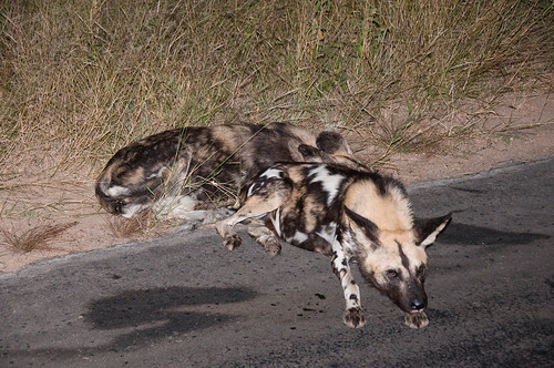 Wild Dogs near Skukuza