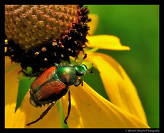 Flower and Bug (Micha67) Tags: sun flower detail macro green nature yellow closeup bug insect michael nikon micha schaefer d300 naturesfinest mywinners macrolife